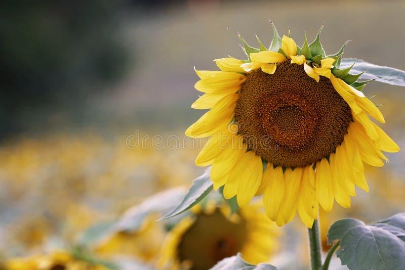 Shallow Focus Photography of Sunflower stock photos