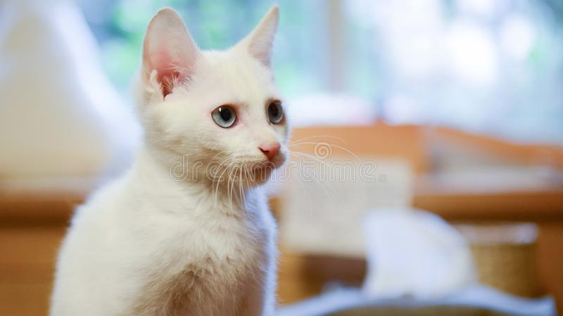 Shallow Focus Photography of White Cat royalty free stock images