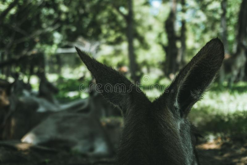 Shallow focus shot of the back of a wallaby`s head looking at the green forest royalty free stock photo