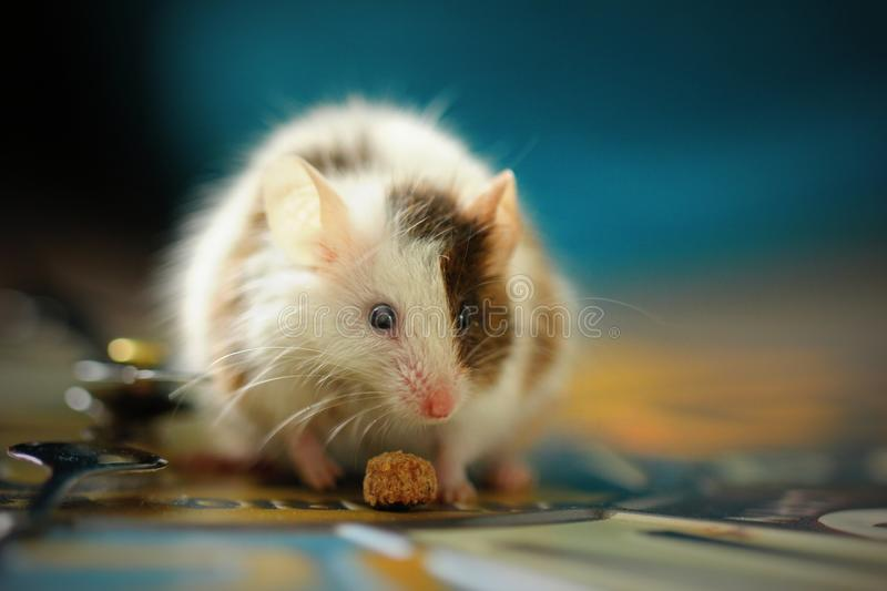 Shallow focus shot of a cute white hamster eating a snack with a blurred background royalty free stock photography