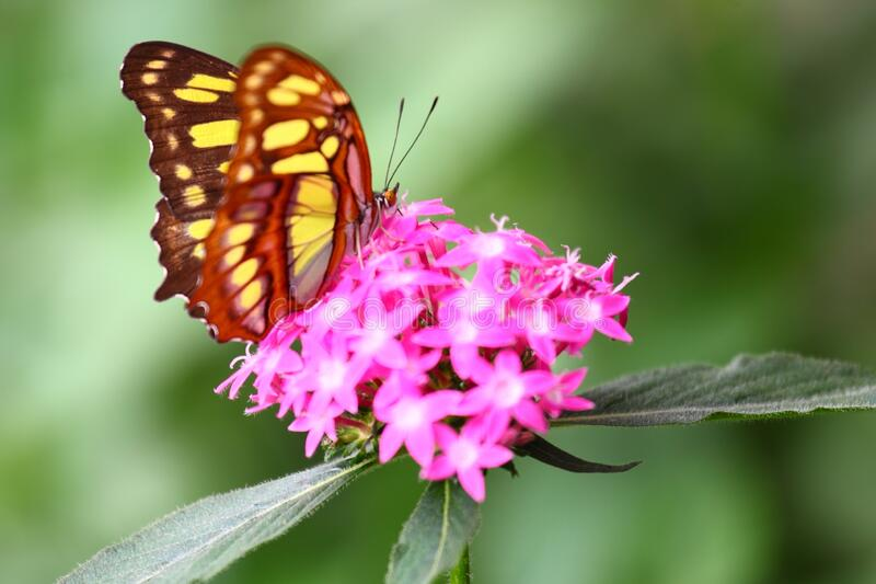 Shallow focus shot of an orange white butterfly perched on pink santan flowers stock image
