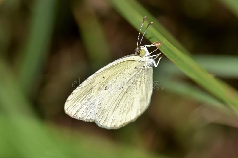 Shallow Focus of White and Green Butterfly royalty free stock image