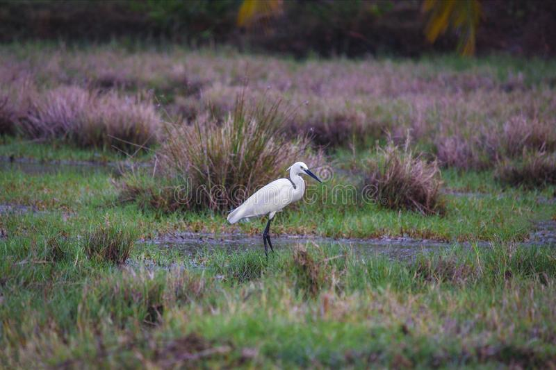 Shallow Photography of Great Egret stock photos