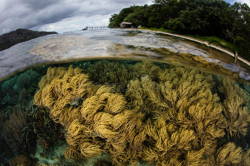Shallow Reef in Raja Ampat. Corals grow near an island in Raja Ampat, Indonesia. This remote region is known as the heart of the Coral Triangle due to its royalty free stock images