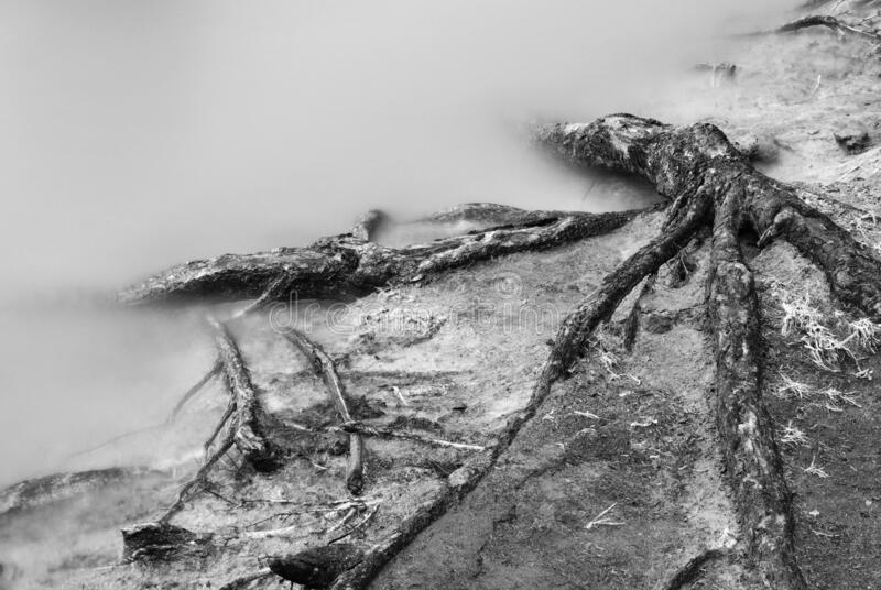 Shallow tree roots stock photography