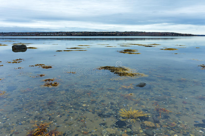 Shallow waters with floating seaweed on the coast of Maine. View of shallow water with floating seaweed off the coast of Maine in the late fall on an overcast royalty free stock photo
