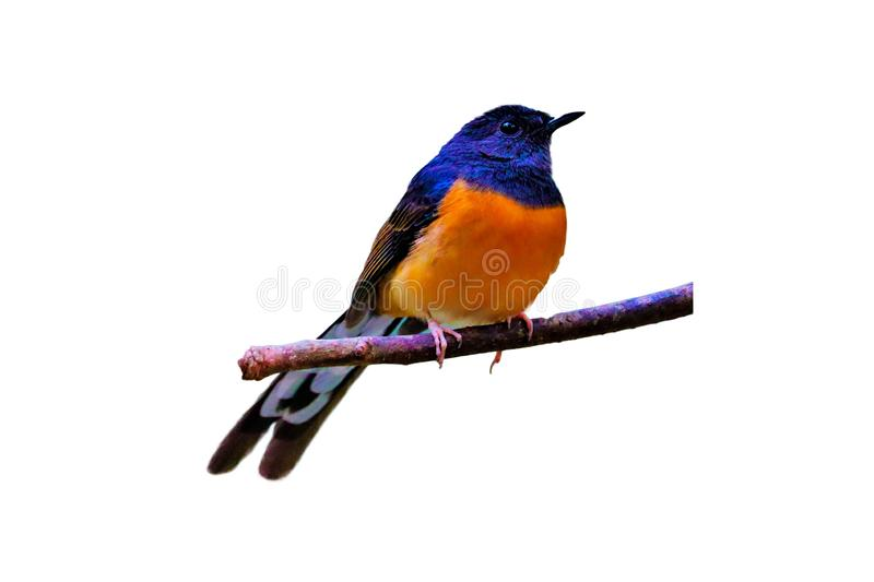 White-rumped Shama on the branch on white  background stock images