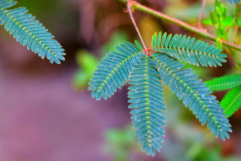 Mimosa plant. Shameplant Mimosa pudica is a sensitive plant. mimosa leaves close when touched stock images