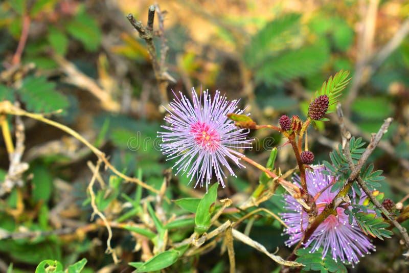 Shameplant, pudica de la mimosa, es una planta del arrastramiento foto de archivo libre de regalías