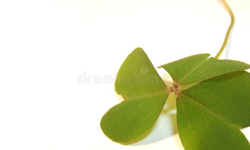 Download Shamrock stock photo. Image of shamrock, veins, holiday - 497622