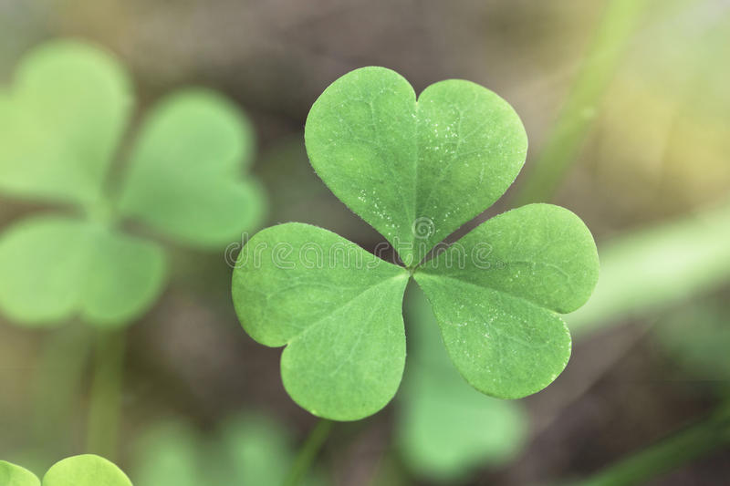 Shamrock close up. Detail of shamrock plant with green blurred background stock images