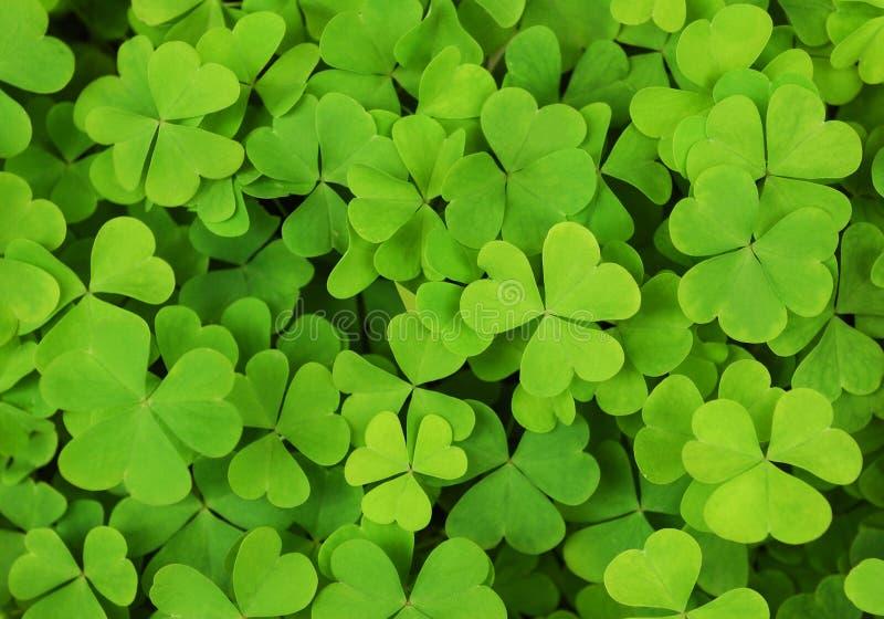 shamrock för bakgrundsväxt av släkten Trifoliumirländare fotografering för bildbyråer