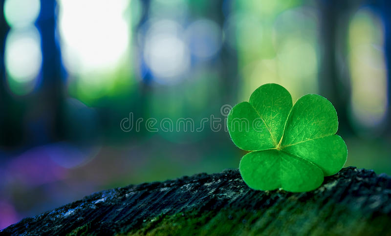 Shamrock in forest stock photography