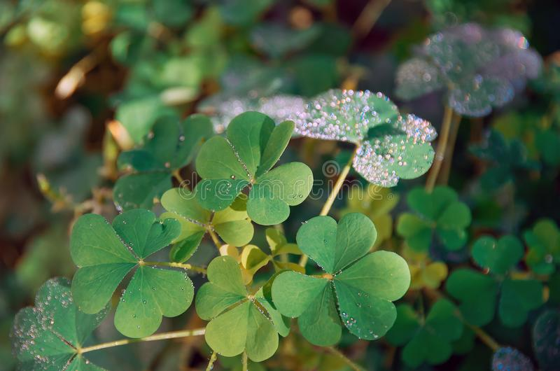Shamrock green leaves pattern, leaf clover closeup royalty free stock photo