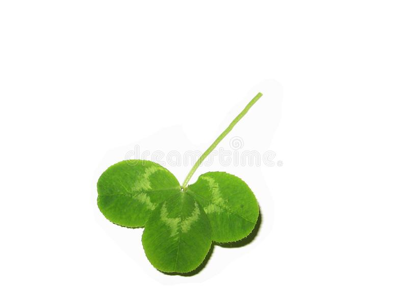 Shamrock isolated stock images