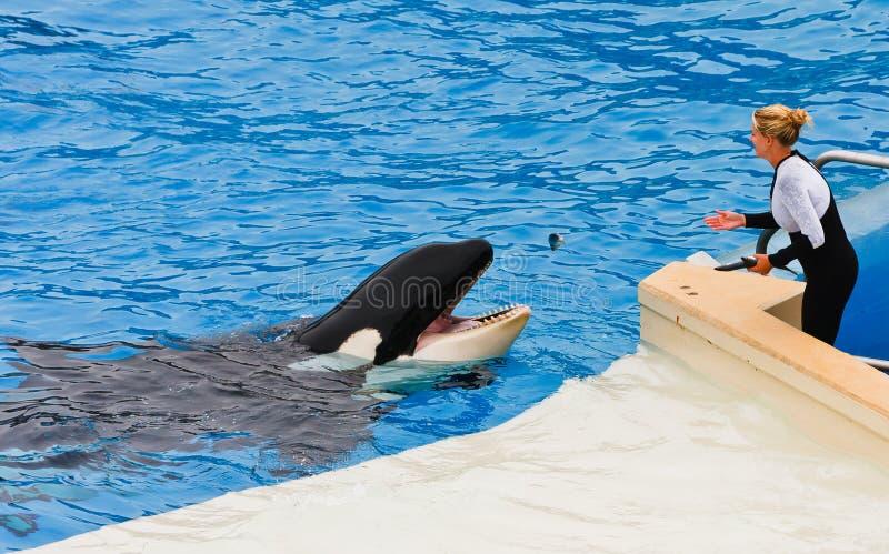Shamu de Orka in SeaWorld royalty-vrije stock fotografie