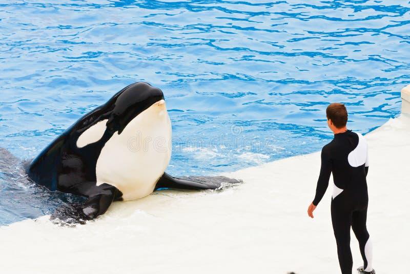 Shamu de Orka in SeaWorld stock foto
