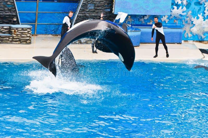 Shamu de Orka in SeaWorld stock afbeelding