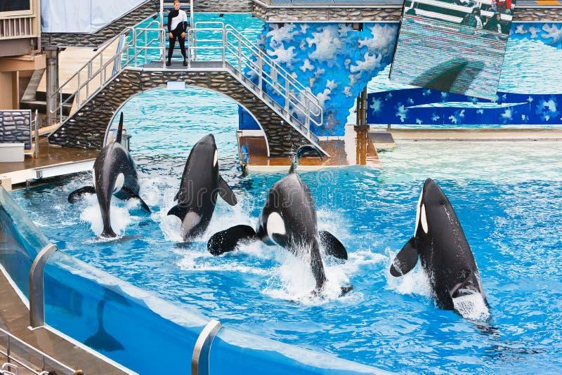 Shamu en andere Orka's in SeaWorld stock fotografie
