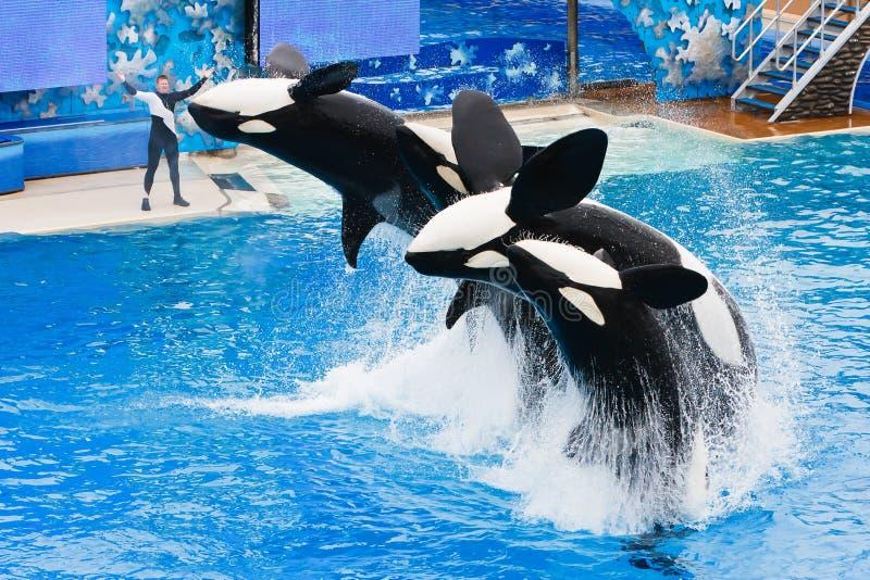 Shamu en andere Orka's in SeaWorld stock foto's