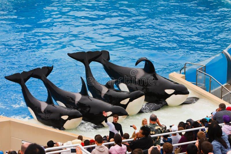 Shamu en andere Orka's in SeaWorld stock afbeeldingen