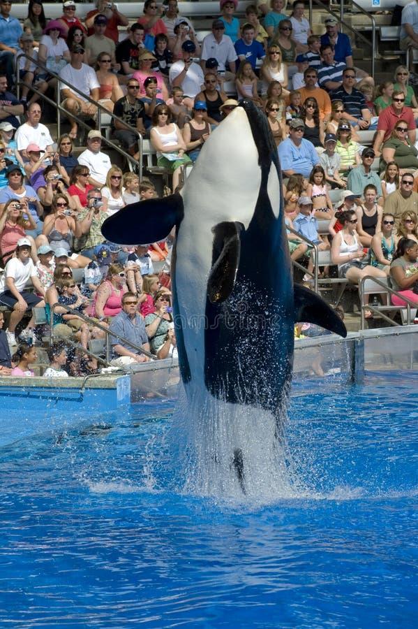 Shamu Killer Whale royalty free stock photography