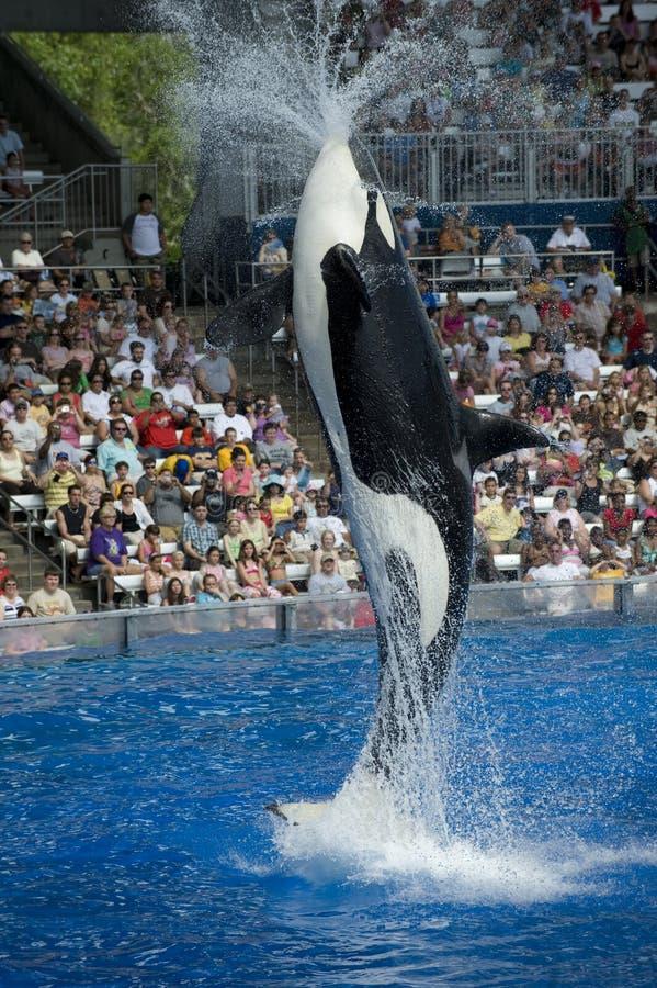 Shamu Killer Whale stock photography