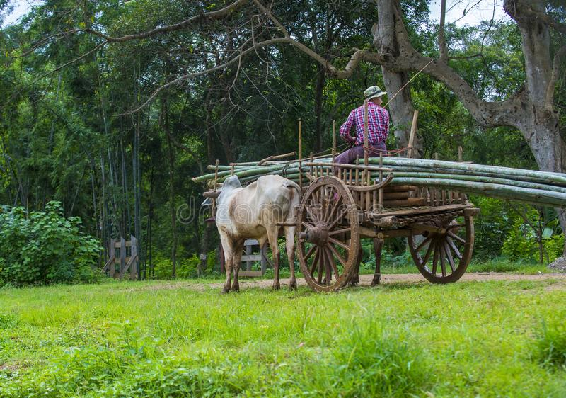 Burmese farmer riding ox cart royalty free stock image