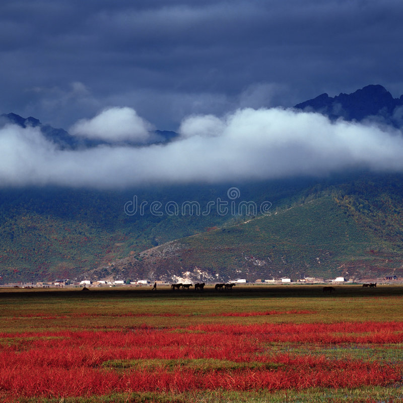 Shangri-la. The autumn landscape of Shangri-la is attractive.Flocks and herds are gathering on the red grassland stock photos