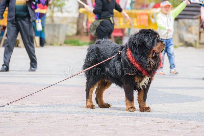 SHANGRI-LA, CHINA - 20 de abril de 2016: Cão (mastins tibetanos) para que os turistas tomem uma imagem fotos de stock