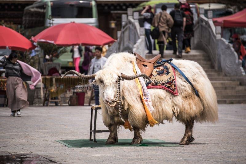 SHANGRI-LA, CHINA - 20 de abril de 2016: Iaques para que os turistas tomem uma imagem imagem de stock royalty free