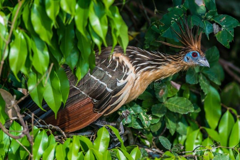 Shansho entre la jungle péruvienne Madre de Dios Pe d'Amazone de branches photos libres de droits