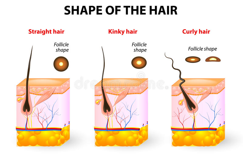 Shape of the hair and hair anatomy. Types of hair. Cross section of different hair texture. Follicle shape determines hair texture. Straight, wavy, curly, kinky