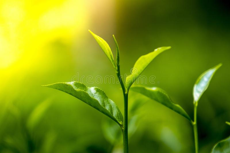 Tender and green tea leaves in winter day evening time. The shape of the leaf, and the color. The shape varies for different kinds of tea. Tea bud and leaves at stock photos