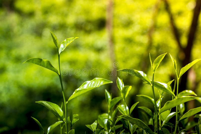 Tender and green tea leaves in winter day evening time. The shape of the leaf, and the color. The shape varies for different kinds of tea. Tea bud and leaves at royalty free stock images