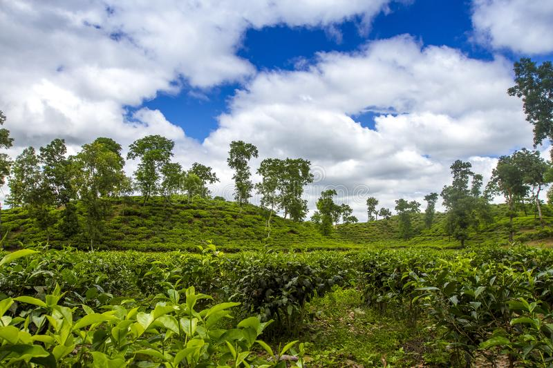 Tea resort field landscape in Moulovibazar, Bangladesh. The shape of the leaf, and the color. The shape varies for different kinds of tea. Tea bud and leaves at stock photos