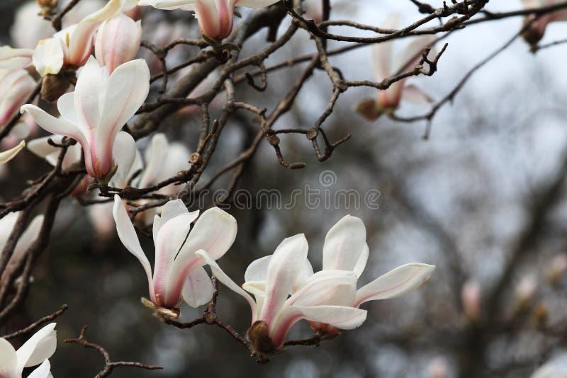 MagnoliaMagnolia denudata stock photos