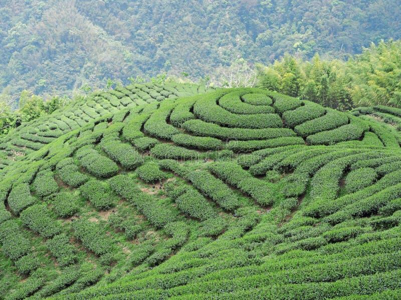Bakua tea garden stock photos