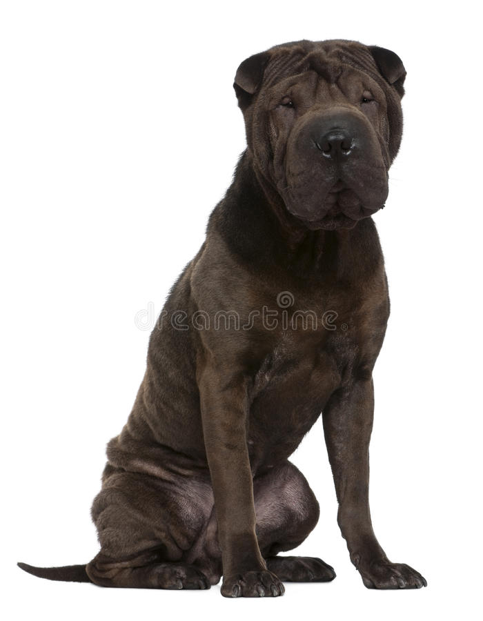 Shar Pei, 1 year old, sitting royalty free stock photography