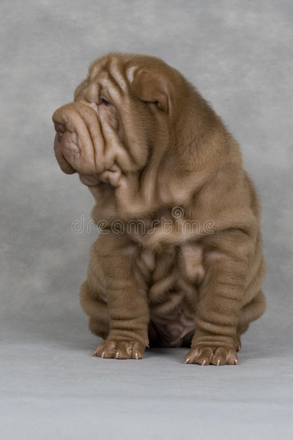 Shar-pei royalty free stock images