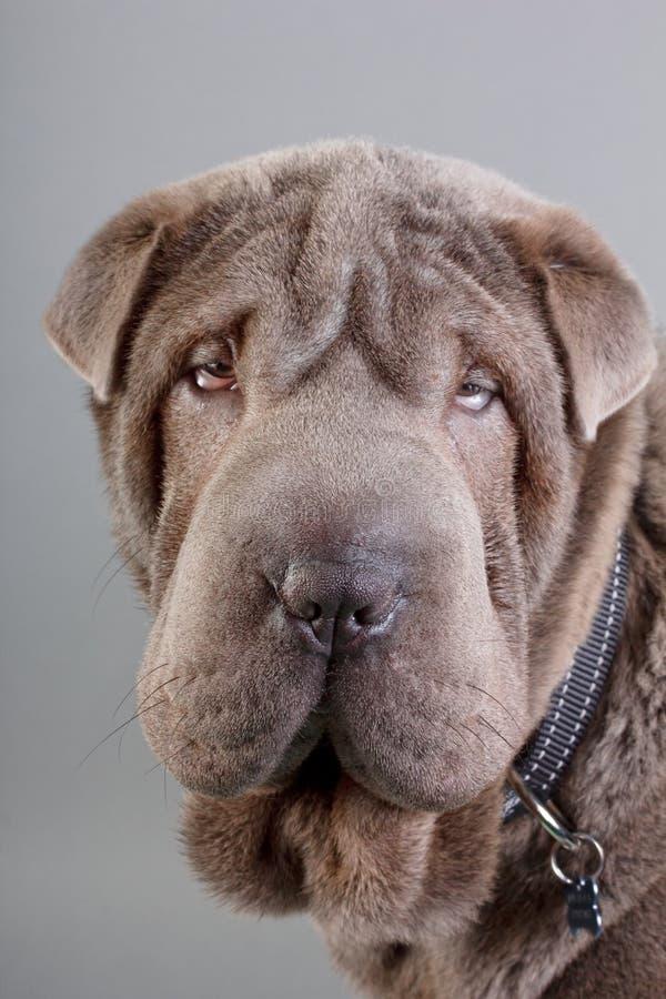 Shar pei. Dog close-up on gray royalty free stock image