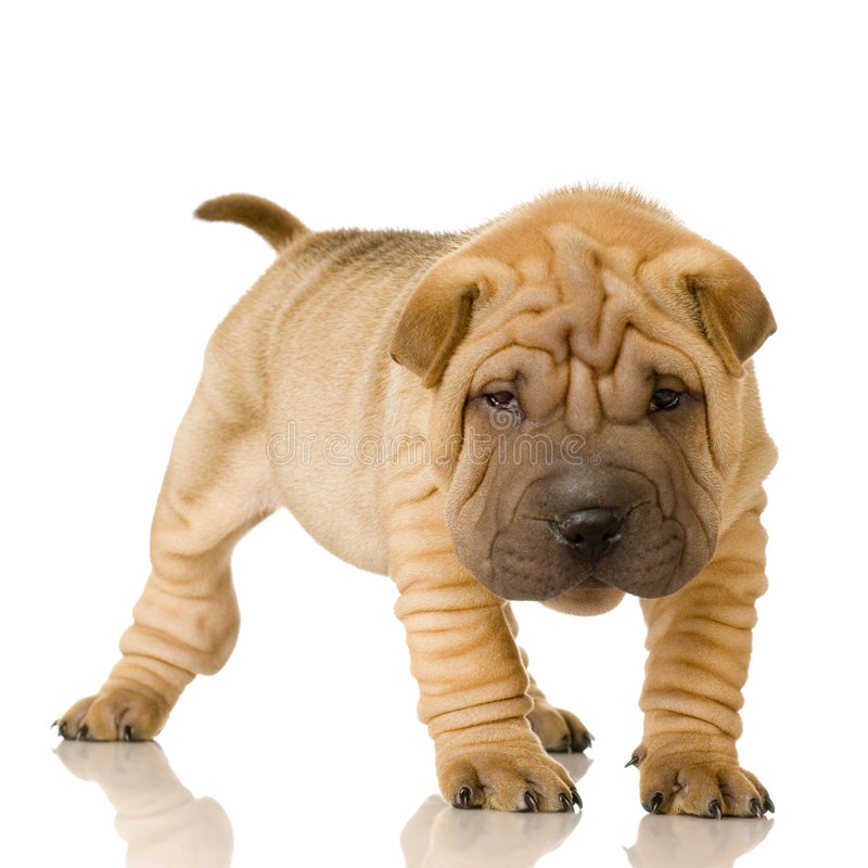 Shar pei. In front of a white background royalty free stock photo