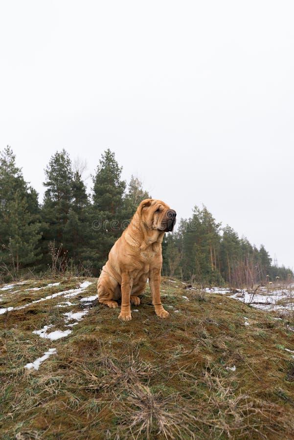 Shar Pei auf Natur auf dem H?gel sitzt Profilbild lizenzfreies stockfoto