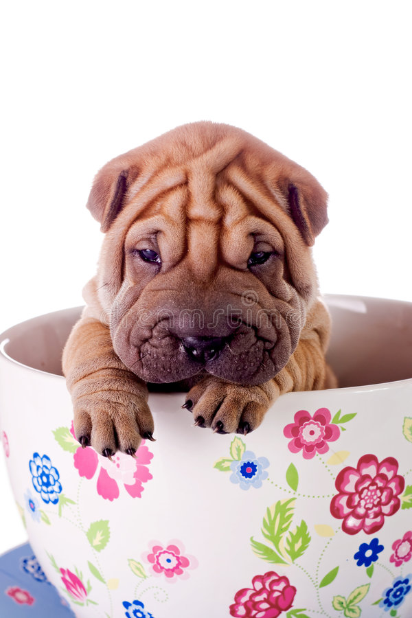 Shar Pei baby dog in a large cup royalty free stock photo