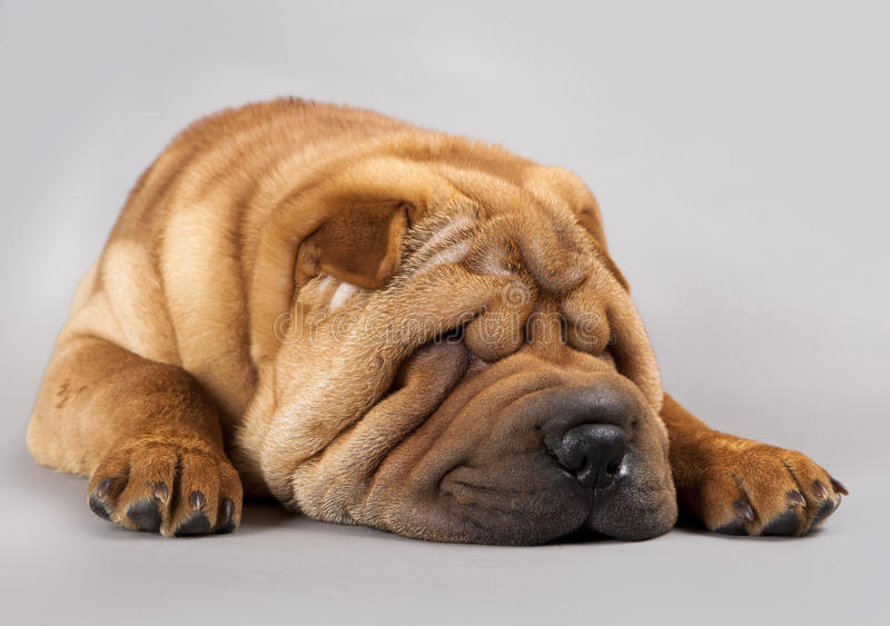 Shar-pei dog. On a gray background in the studio stock images