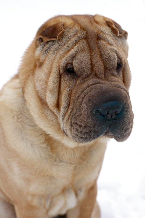 Shar-pei dog. Portrait on white background royalty free stock photography