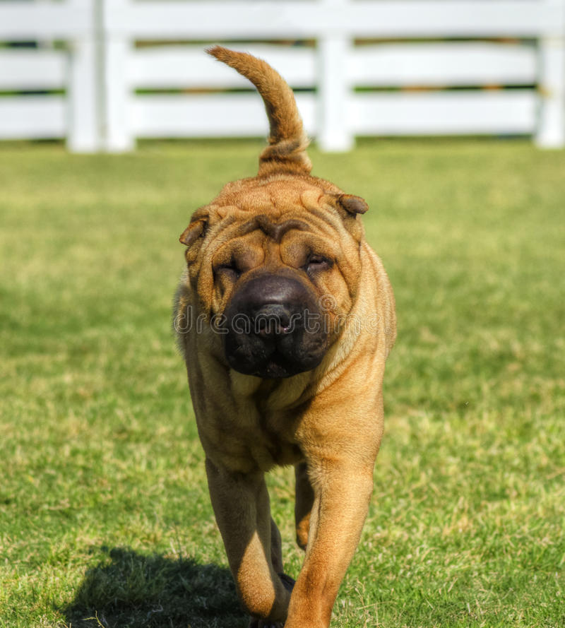 Shar Pei dog. A beautiful, young red fawn Chinese Shar Pei dog walking on the lawn, distinctive for its deep wrinkles and considerd to be a very rare breed royalty free stock photos