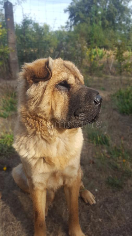Shar Pei. Dog cute lion stock images