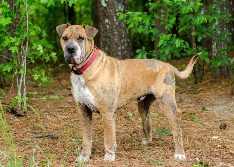 Shar pei dog with mange. Sharpei dog with demodectic mange, outdoor pet photography, humane society adoption photo, Walton County Animal Shelter, Georgia stock image