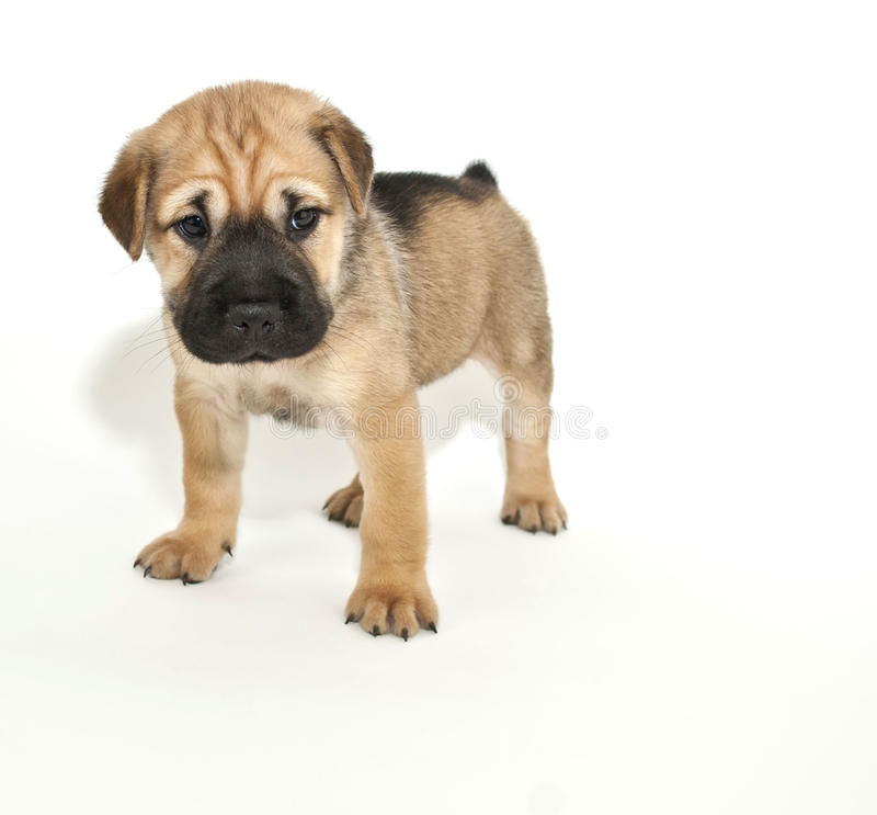 Shar pei Puppy. Very cute Shar pei puppy on a white background stock photo